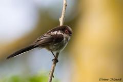 Jeune msange  longue queue (Corinne Mnardi) Tags: birds aves oiseaux longtailedtit aegithaloscaudatus msangelonguequeue aegithalidae juvniles passriformes aegithalids