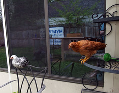 Fernet roosting on chair while Margaret thinks about jumping from shelf (benchilada) Tags: from chickens chicken jumping chair thinks shelf margaret while about roosting fernet chickum chickums