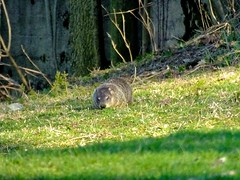 Wood Chuck (stillphototheater) Tags: iowa woodchuck groundhog stillphototheater bryantiowa