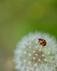Ladybug (myu-myu) Tags: nature japan insect nikon dandelion ladybug d800   coccinellaseptempunctata