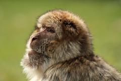 Barbary macaque (K.Verhulst) Tags: monkey monkeys nl apenheul apeldoorn apen barbarymacaque berberaap