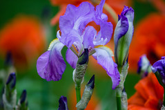 Colours in my garden! (bonnie5378) Tags: iris purple ngc poppies inmygarden coth magicunicornverybest coth5 naturescarousel june2016