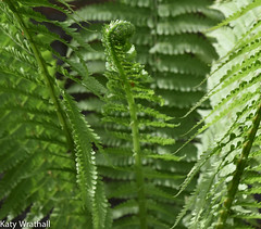 Fern (Katy Wrathall) Tags: england garden spring may eastyorkshire 2016 eastriding
