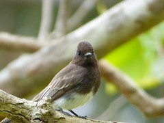Black Phoebe (E. Stipke) Tags: california black bird phoebe orangecounty huntingtonbeach blackphoebe