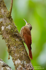 Spot-crowned Woodcreeper, Costa Rica (www.juancarlosvindasphoto.com) Tags: pictures portrait cute green expedition nature birds animal forest canon landscape outdoors landscapes waterfall toucan ecuador rainforest costarica photographer tour hummingbird photos unique wildlife small stock fulllength large gear amphibian nobody aves frog workshop tropical getty endangered cloudforest multicolored sideview biology mammals endemic birdwatching treefrog reptiles centralamerica poisonous protected biodiversity wildanimals rm multiflash distinctive animalsinthewild tropicalbirds frontalview birdphotography tropicaldryforest colibris rightsmanaged spotcrownedwoodcreeper lepidocolaptesaffinis portraitmode colibries leaffrog juancarlosvindas neotropicbirds neotropicwildlife