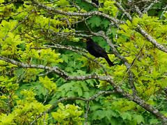 Time to Sing (arne.lindgren) Tags: maple oak turdusmerula blackbird koltrast om300mmlens