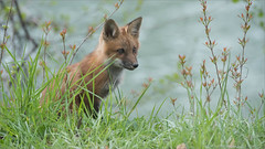 Fox Kit Hunting (Raymond J Barlow) Tags: red ontario canada animal wow adventure workshop fox redfox phototour raymondbarlow
