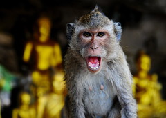 ,, Monkey, Buddha, Cave ,, (Jon in Thailand) Tags: tongue monkey eyes nikon buddha wildlife jungle cave 28 nikkor fangs primate conehead 1755 d300 wildlifephotography 175528