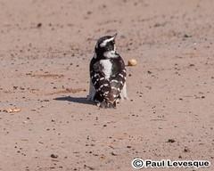 16A_0490 AE Downy Woodpecker - Pic mineu (Paul Lev) Tags: canada quebec gatineau birds downywoodpeckerpicmineur