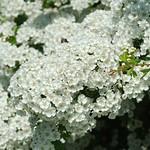 whitethorn blossom