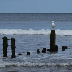 Shaped by the tide (Martellotower) Tags: sea sand gull herring groynes sandsend
