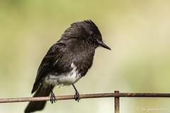 Black Phoebe (Bob Gunderson) Tags: sanfrancisco california birds northerncalifornia fortmason blackphoebe sayornisnigricans flycatchers empidonaxflycatchers
