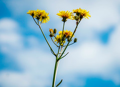 Dandelions in Clouds (williams19031967) Tags: blue sky blur macro yellow closeup clouds weeds focus pretty all dof close bokeh sony saints cybershot dandelion spire a7 hallows wellingborough