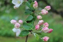 Äppelblom (hildur_76) Tags: natur blomma