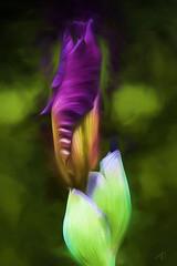 IMG_13284 (JTP&DA) Tags: iris painting photo purple manipulation topaz