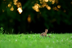 Day Two Hundred Sixty Two (fotoJared) Tags: sunset summer rabbit bunny grass june evening nikon bokeh 365 70200 cottontail 365project fotojared