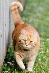 Border Patrol (Unintended_Keith) Tags: david cat ginger feline patrolling canon7dmkii sigma150600mms