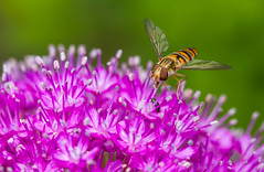 173/366: At the snack bar (judi may) Tags: pink flower macro nature garden insect wings dof bokeh stripes details allium hoverfly canon7d day173366 366the2016edition 3662016 21jun16