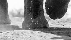 Look out!! (DrScottA) Tags: southafrica africa safari elephant loxodontaafricana madikwegamereserve wildlife wildeyesa bw blackwhite monochrome