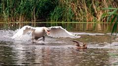 ND6_2650 (charlesvanlangeveld) Tags: zwaan wittezwanen zwanen whiteswans zwans