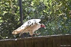 Albino Turkey Vulture_2067 (RustyE09) Tags: nature turkey outdoors zoo wildlife albino vulture caldwell
