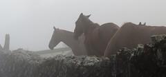 cavalos na neblina (jakza - Jaque Zattera) Tags: cavalos muro neblina clima campo