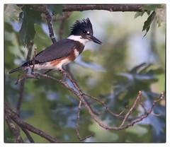 Kingfisher at Forest Park Wetlands - No 3 (Nikon66) Tags: nikon stlouis missouri kingfisher forestpark d800 600mmnikkor
