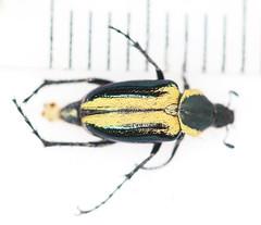 Macrodactylus sp.2014-10-20CSNGA_2792 c (mcclarinj) Tags: ecuador jim napo scarabaeidae mcclarin macrodactylus cosanga