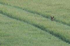 Watching Me! (1 of 2) (Robin M Morrison) Tags: field barley wiltshire roedeer in