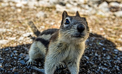 golden mantled ground squirrel - banff NP, canada (AB) 4 (Russell Scott Images) Tags: canada ab alberta banff rodents banffnationalpark goldenmantledgroundsquirrelcallospermophiluslateralis