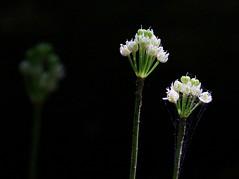 wild leek flowers at Vernon Springs IA 854A0696 (lreis_naturalist) Tags: county flowers wild howard reis iowa ramps larry springs onion vernon leek