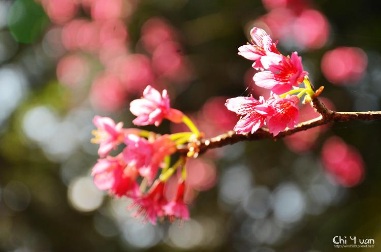 九族文化村櫻花祭-日13.jpg