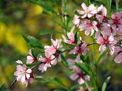 """Spring unlocks the flowers to paint the laughing soil"" ~Reginald Heber (ewka2205) Tags: pink flowers green yellow spring kwiaty wiosna ewka2205"