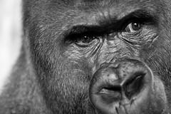 Viatu (Sofian B.) Tags: zoo gorilla tier affe westernlowlandgorilla a700 zoofrankfurt specanimal viatu alpha700 dslra700 sal35f18 35dt 3518sam