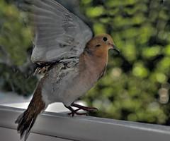 Bird landing on balcony, Barbados