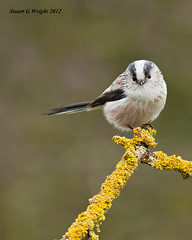 Long Tailed Tit (Stuart G Wright Photography) Tags: bird birds long tit g stuart cannock chase wright tailed staffs stuartgwrightcom