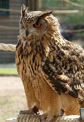 The Big One. (Church Mouse 07) Tags: uk bird british birdofprey eagleowl blackpoolzoo churchmouse07