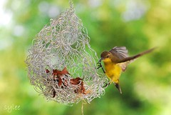 Home Sweet Home (leeshingyaw) Tags: nest sunbird d60 olivebackedsunbird cinnyrisjugularis supershot yellowbelliedsunbird