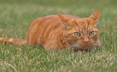 Watch out squirrel (Kerri Lee Smith) Tags: orange cats pets animals cat ginger feline tabby hunting 100mm kitties buff tabbies felines mack stalking alert