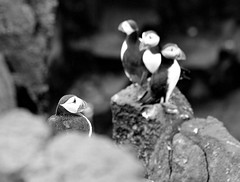 Black and White Puffins show! (eric robb niven) Tags: mono scotland may puffins isle anstruther