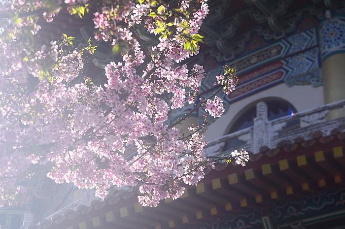 2012-danshui -sakura