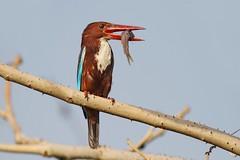 White-breasted Kingfisher (AnayTarnekar) Tags: india bird canon kingfisher 7d anay nagpur whitebreasted ambazari tarnekar