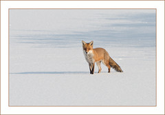 The Winter Survivor (Full Moon Images) Tags: red lake snow ice nature frozen wildlife reserve fox fen drayton rspb fendrayton elney