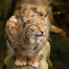Luchs (Cloudtail the Snow Leopard) Tags: luchs lynx cat katze wildpark pforzheim flickrbigcats cloudtailthesnowleopard