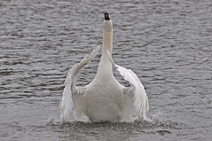 Swan praying? (Leon from the Wick) Tags: thames river swan prayer praying windsor mute