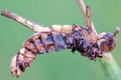 Another victim of fungus (crisarg (old stream)) Tags: macro naturallight fungus grasshopper nikonpb6bellows nikond7000 zerenestacker schneidercomponons804