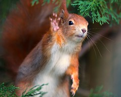 High Five Squirrel! (asbimages.co.uk) Tags: uk red nature animal squirrel wildlife highfive waving high5 redsquirrel sciurusvulgaris