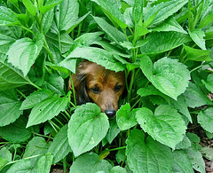 Redo of old Heidi photo (Doxieone) Tags: plants dog cute leaves fun miniature funny dachshund hide hiding longhaired newoldphotosset
