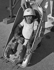 1961 ... 'Ham' the Astrochimp (x-ray delta one) Tags: 2001 mars illustration magazine mercury space astronaut nasa 1950s skylab scifi lifemagazine 1960s outerspace tomorrowland apollo gemini mir cosmonaut vostok thefuture aerospace cccp saturnv 2001aspaceodyssey soyuz worldoftomorrow spacerace spaceexploration magazineillustration robertmccall