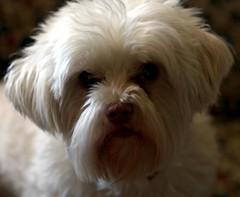Curious Rosie (Dark Spinner) Tags: dog pet maltese winter2010